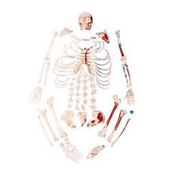 Esqueleto Humano Desarticulado Tamanho Natural Com Origem e Inserção Muscular