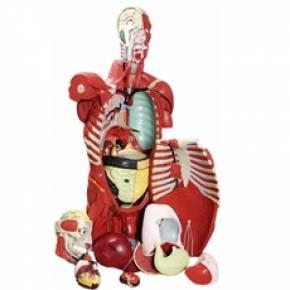 Torso Masculino Musculado 108cm Com Órgãos Internos