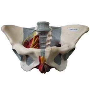 Esqueleto Pélvis Feminina Com Nervos e Ligamentos