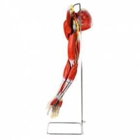 Músculos do Membro Superior Com os Principais Vasos e Nervos