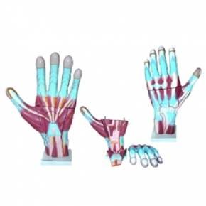 Mão Muscular Ampliada em 3 Partes