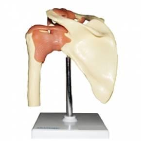 Articulação do Ombro com Ligamentos