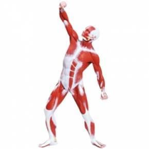 Modelo Muscular de 50cm