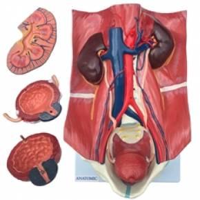 Sistema Urinário Clássico
