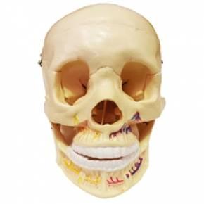 Crânio Clássico Com Mandíbula Aberta