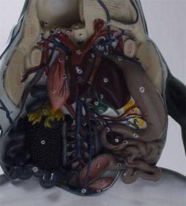 Anatomia do Sapo em Corte Coronal
