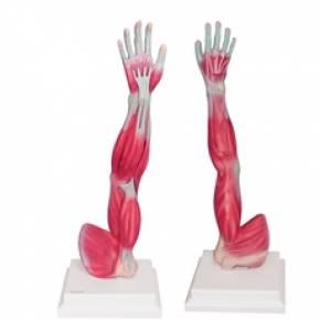 Braço Musculado