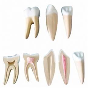 Dentes Ampliados – Canino, Incisivo e Molar