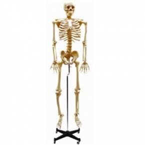 Esqueleto Flexível Aprox. 168cm Com Suporte