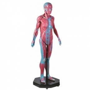 Modelo Muscular Assexuado 170cm Com 34 Partes