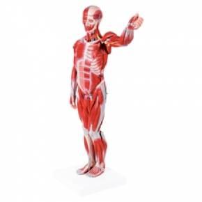 Figura Muscular Assexuada 78cm Com Órgãos Internos