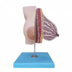 Modelo Glândula Mamaria em Lactação