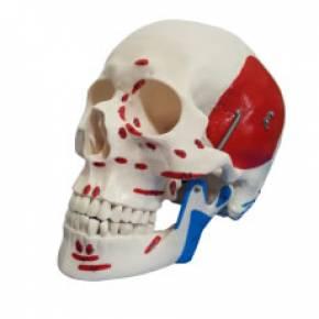 Crânio Numerado Com Origens e Inserções Musculares em 2 Partes