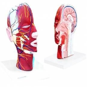 Metade da Cabeça com Musculatura e Corte Mediano