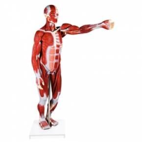 Figura Muscular Assexuada 170cm Com 27 Partes Com Órgãos Internos