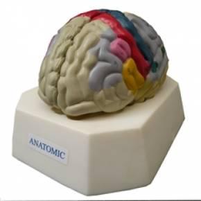 Cérebro Com Regiao Funcional Do Cortex