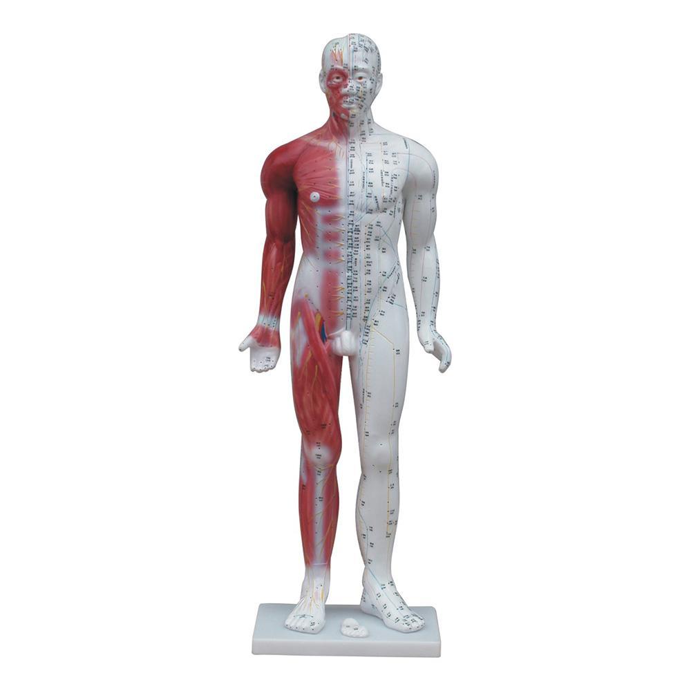 Modelo Anatômico de Acupuntura Masculino 85cm