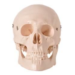 Crânio em 5 Partes