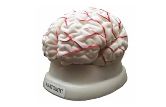 modelo anatômico cérebro humano