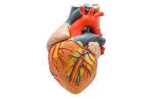 Peça anatômica do coração: veja como investir no modelo é importante para análises e estudos
