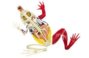 Saiba quais observações podem ser feitas com a aquisição de um modelo de anatomia do sapo